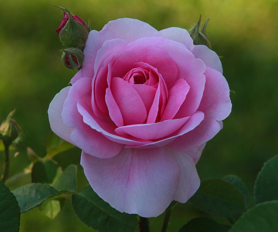 Rose Of Spring Photograph by Edward Kocienski