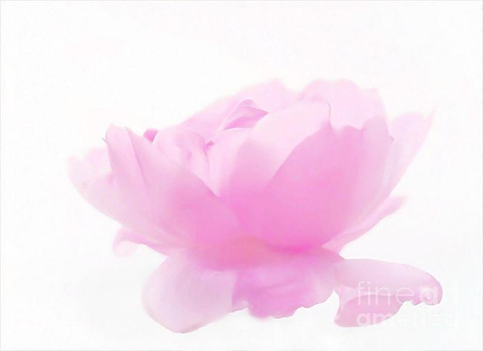 Pink Photograph - Rose by Sylvia  Niklasson