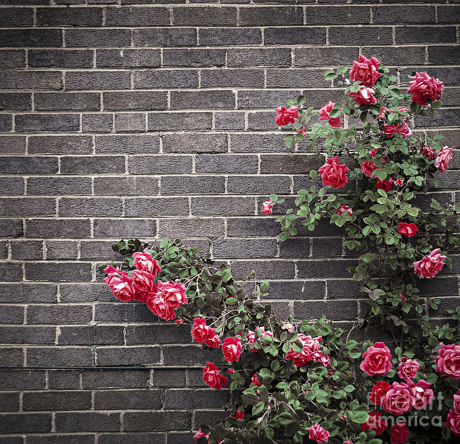 Rose Photograph - Roses On Brick Wall by Elena Elisseeva