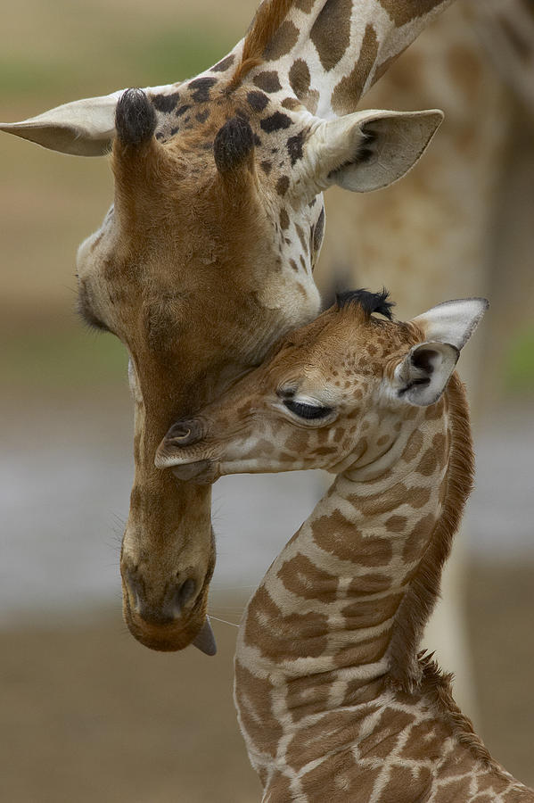 Rothschild Giraffe And Calf Photograph By San Diego Zoo