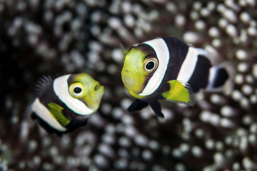 Amphiprion Polymnus Photograph - Saddleback Anemonefish by Ethan Daniels