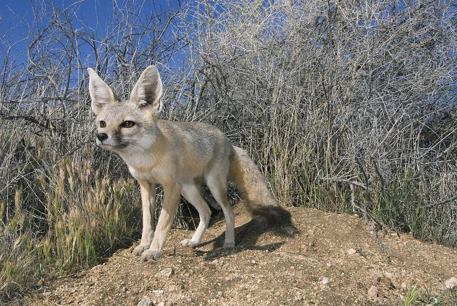 San Joaquin Kit Fox Carrizo Plain Photograph by Kevin Schafer