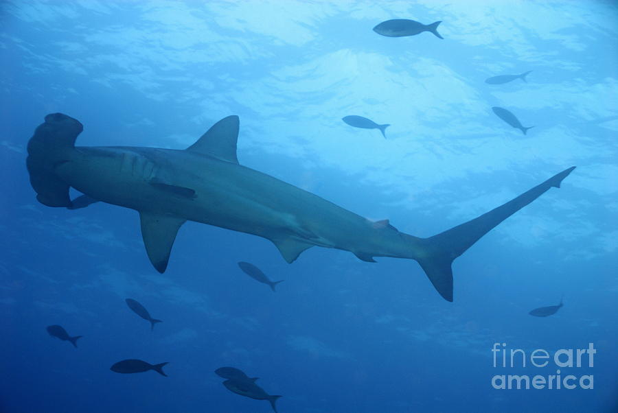 Loneliness Photograph - Scalloped Hammerhead Sharks by Sami Sarkis