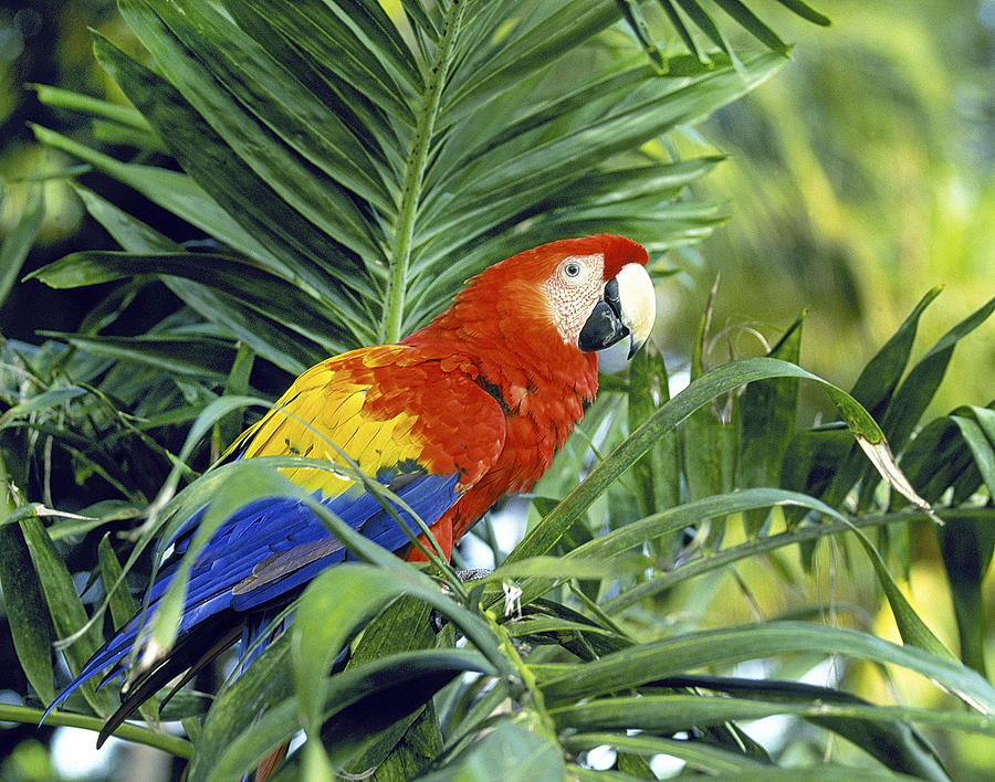 Scarlet Macaw Photograph