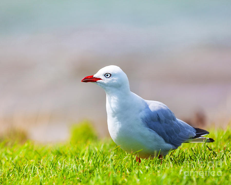 Seagull Photograph - Seagull by MotHaiBaPhoto Prints