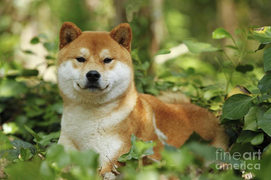 Shiba Inu Photograph - Shiba Inu Dog by Jean-Michel Labat