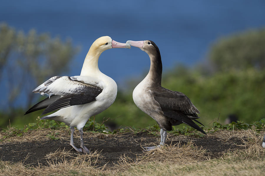Short-tailed Albatross Courting Photograph by Tui De Roy