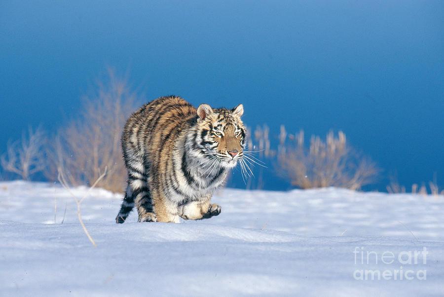Animal Photograph - Siberian Tiger by Alan Carey