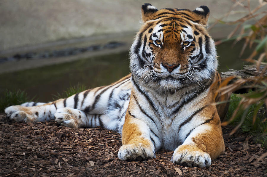 Animal Photograph - Siberian Tiger by Svetlana Sewell