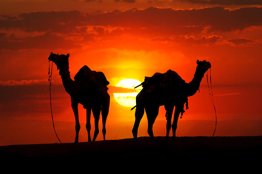 Silhouette of camels in the desert at Sunset Photograph by ...