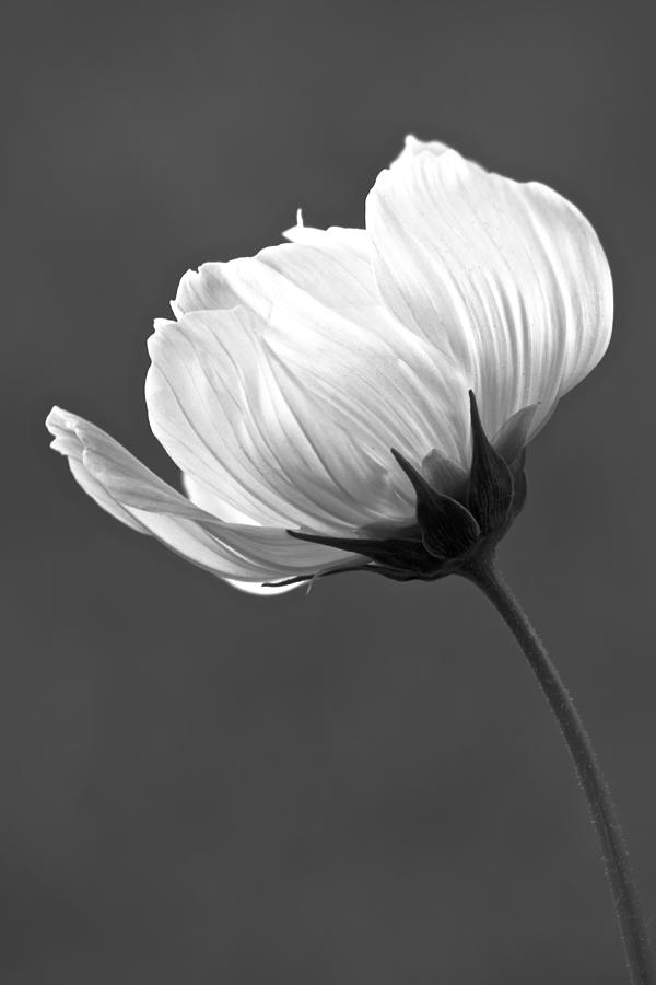 Flower Photograph - Simply Beautiful In Black And White by Penny Meyers