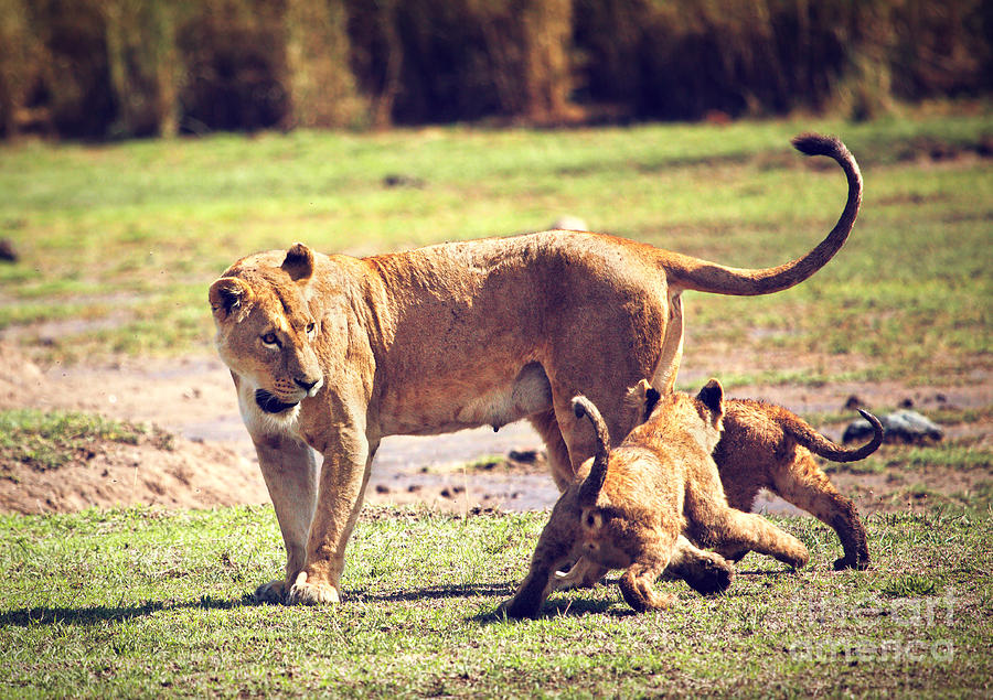 Africa Photograph - Small Lion Cubs With Mother. Tanzania by Michal Bednarek