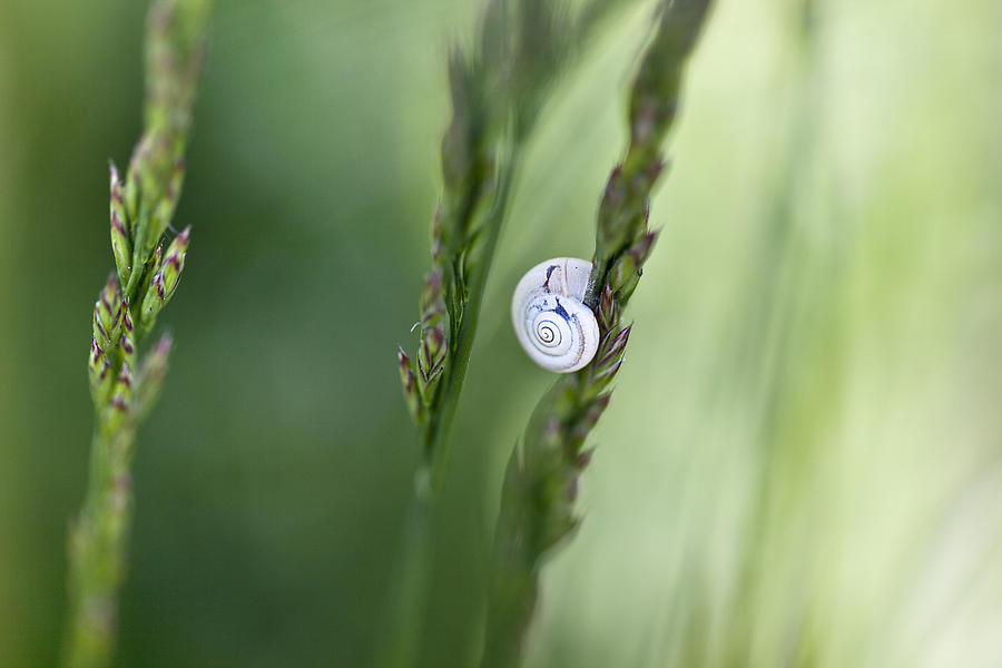 Snail On Grass Photograph