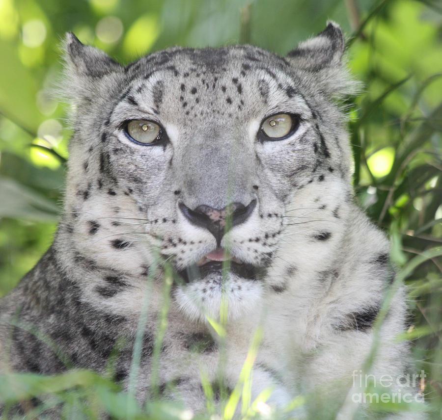 Snow Leopard Photograph - Snow Leopard by John Telfer