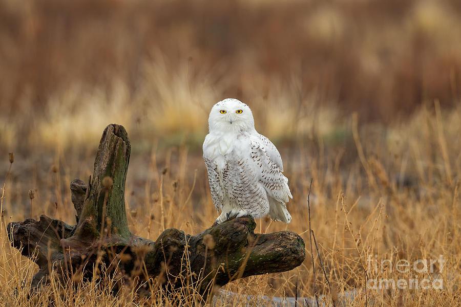 Bubo Scandiacus Photograph - Snowy Owl by Joshua Clark