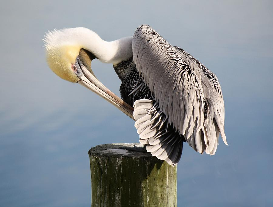 Pelican Photograph - Soft And Delicate by Paulette Thomas