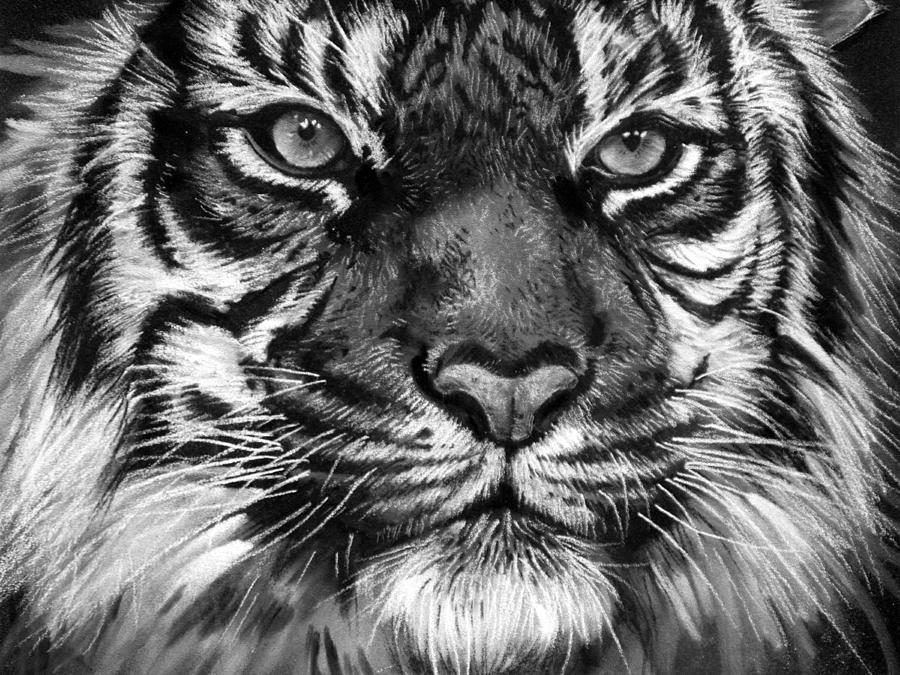 Tigre Sketch: South China Tiger Drawing By Sharlena Wood