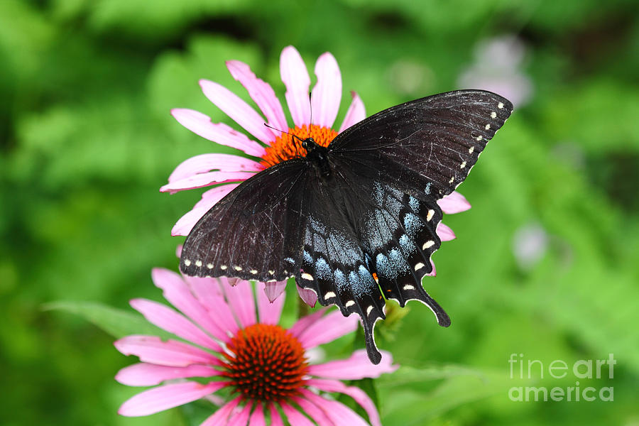 Spicebush Photograph - Spicebush Swallowtail Butterfly by James Brunker