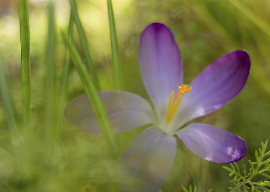 Crocus Photograph - Spring Haze by Caitlyn  Grasso