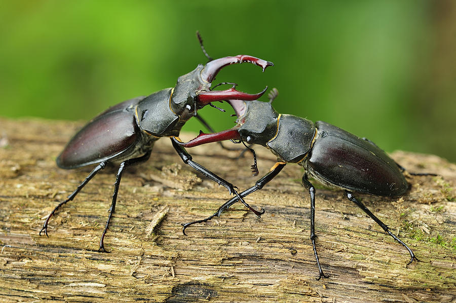 Stag Beetle Fighting Switzerland Photograph by Thomas Marent