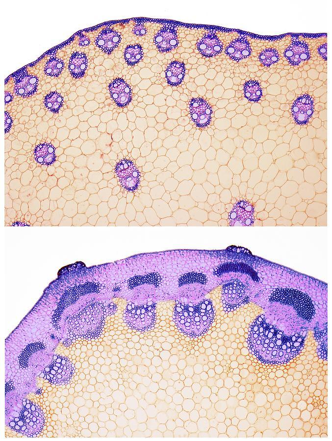 Angiosperm Photograph - Stem Vascular Arrangement by Steve Gschmeissner/science Photo Library