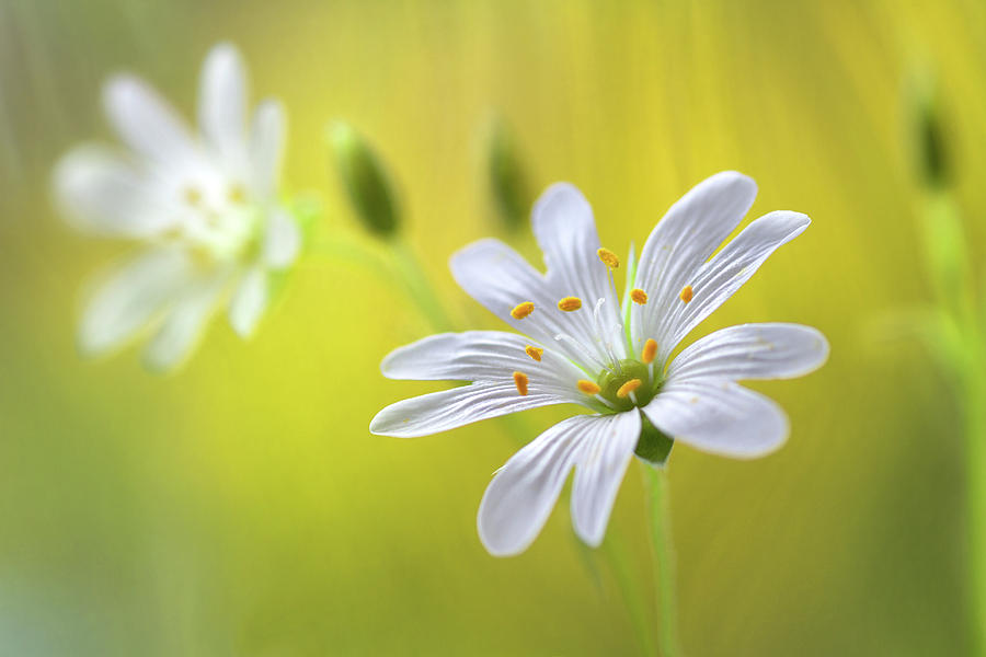 Summer Photograph - Stitchwort by Mandy Disher