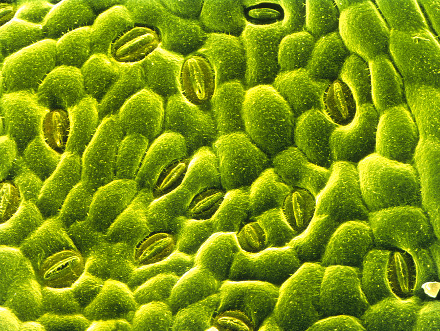 stomata on epidermis of rose leaf photograph by power and