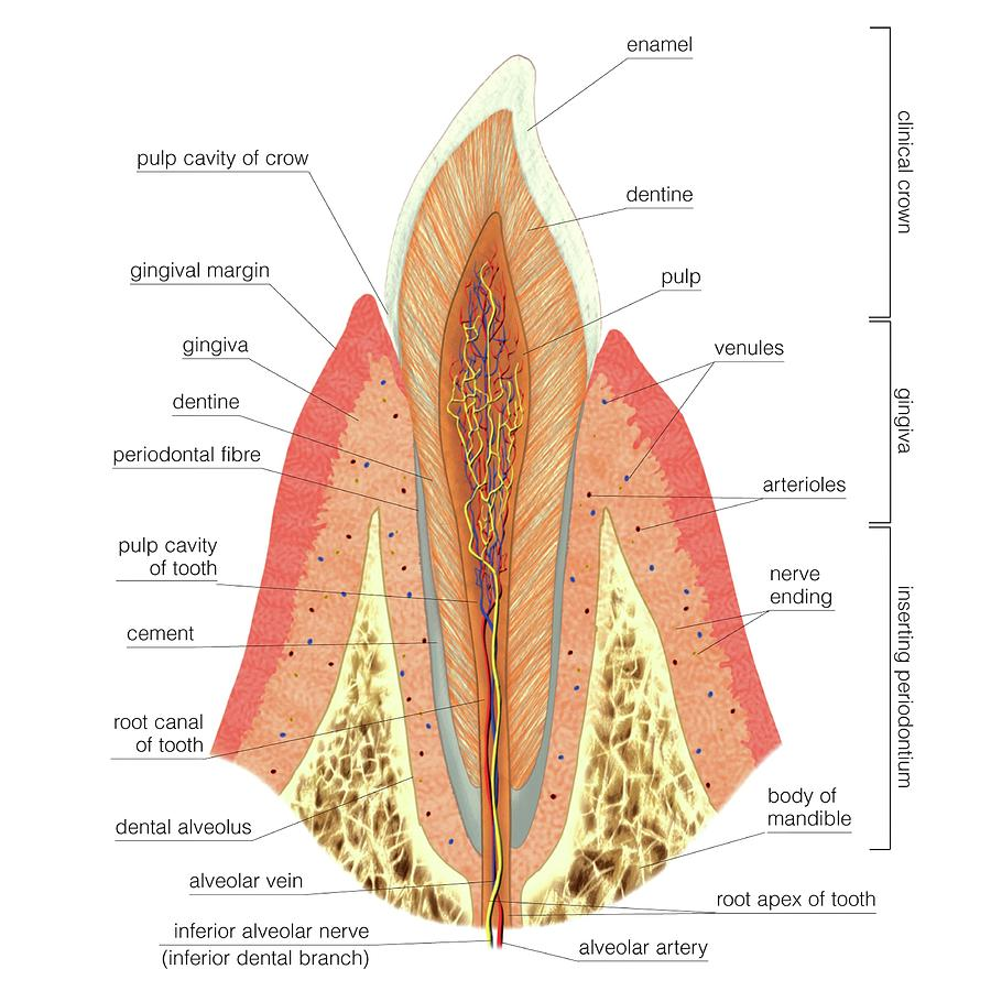 Structure Of Incisor Tooth Photograph by Asklepios Medical Atlas