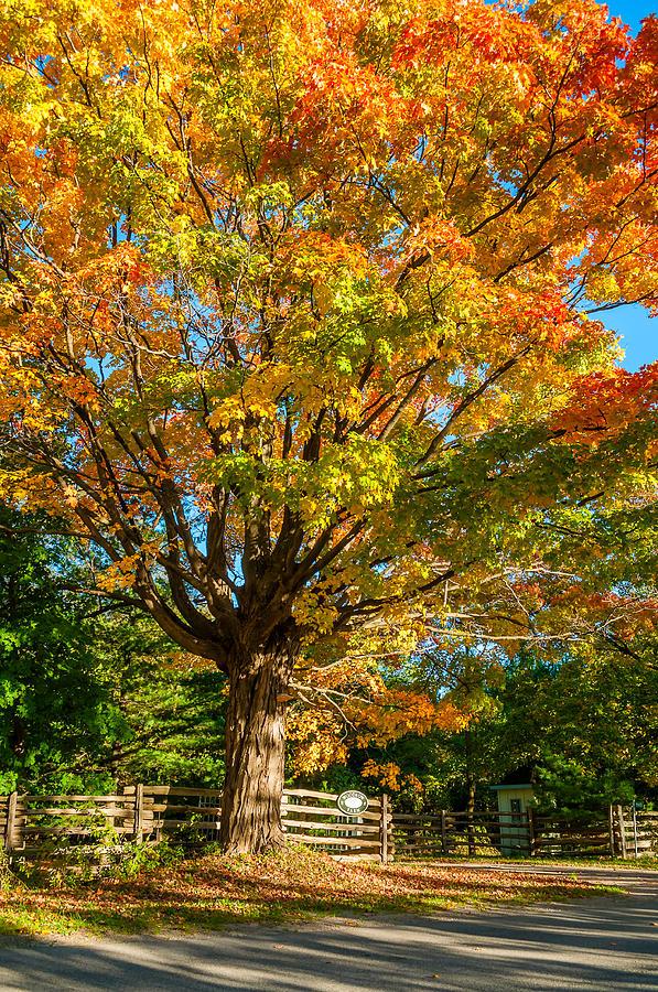 Ontario Photograph - Sugar Maple by Steve Harrington