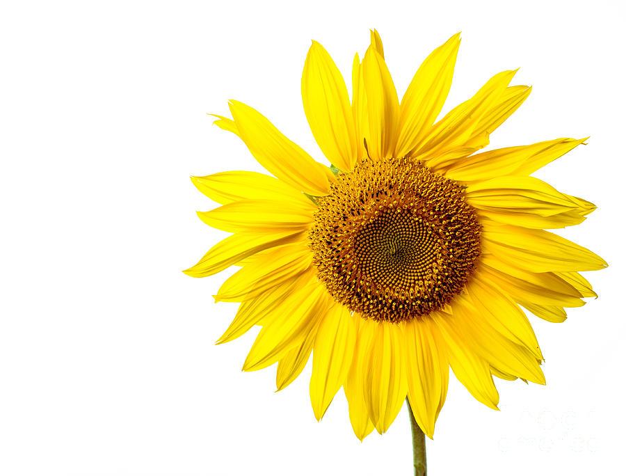 Bloom Photograph - Sunflower by Edward Fielding