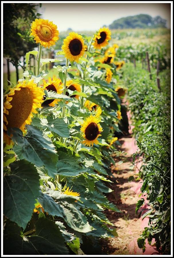 Flower Photograph - Sunflower by Shannon Wall