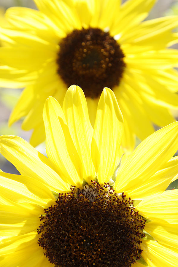 Two Photograph - Sunflowers by Les Cunliffe