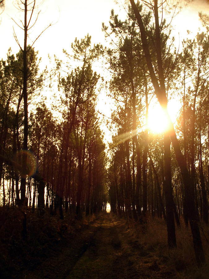 Nature Photograph - Sunrise Pin Tree Forest by Michel Mata