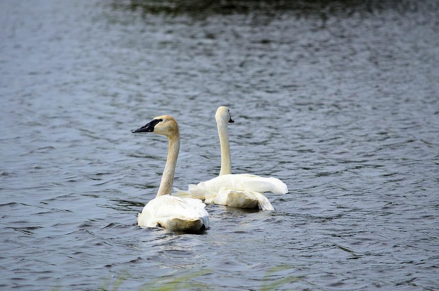Water Photograph - 2 Swans by Bonfire Photography