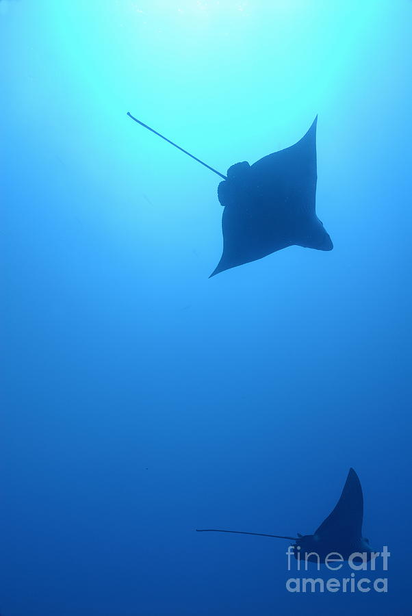 Animals In The Wild Photograph - Swimming Spotted Eagle Rays by Sami Sarkis