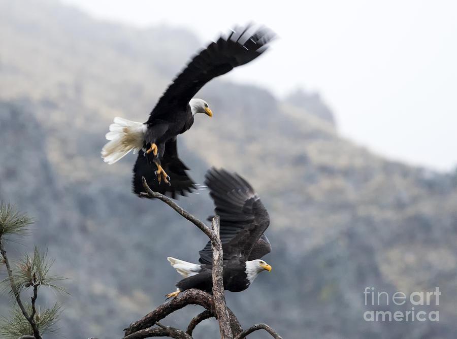 Bald Eagle Photograph - Take Flight by Mike Dawson