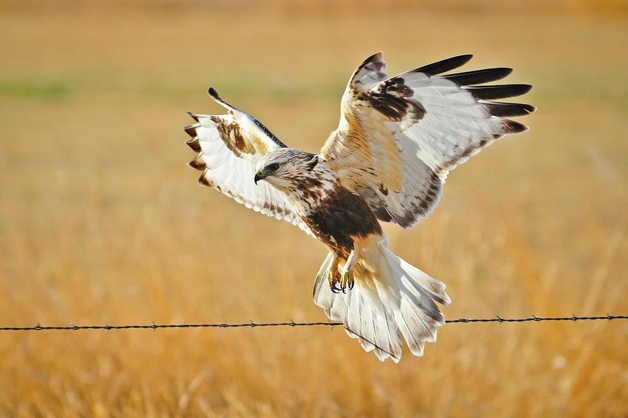 Rough Legged Hawk Photograph - Taking Flight by Greg Norrell