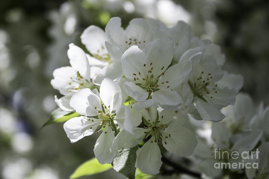White Crabapple Tree Photograph - Tea Crabapple by Arlene Carmel