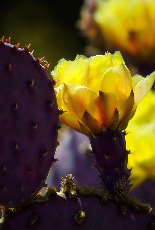 Prickly Pear Cactus Flower Photograph - That Golden Glow  by Saija  Lehtonen
