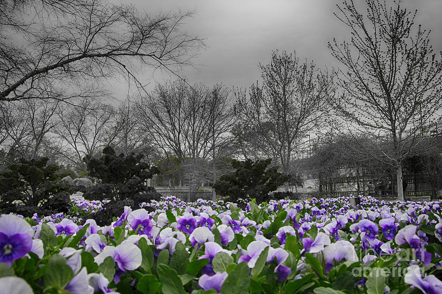 Pansy Photograph - The Color Purple by Douglas Barnard