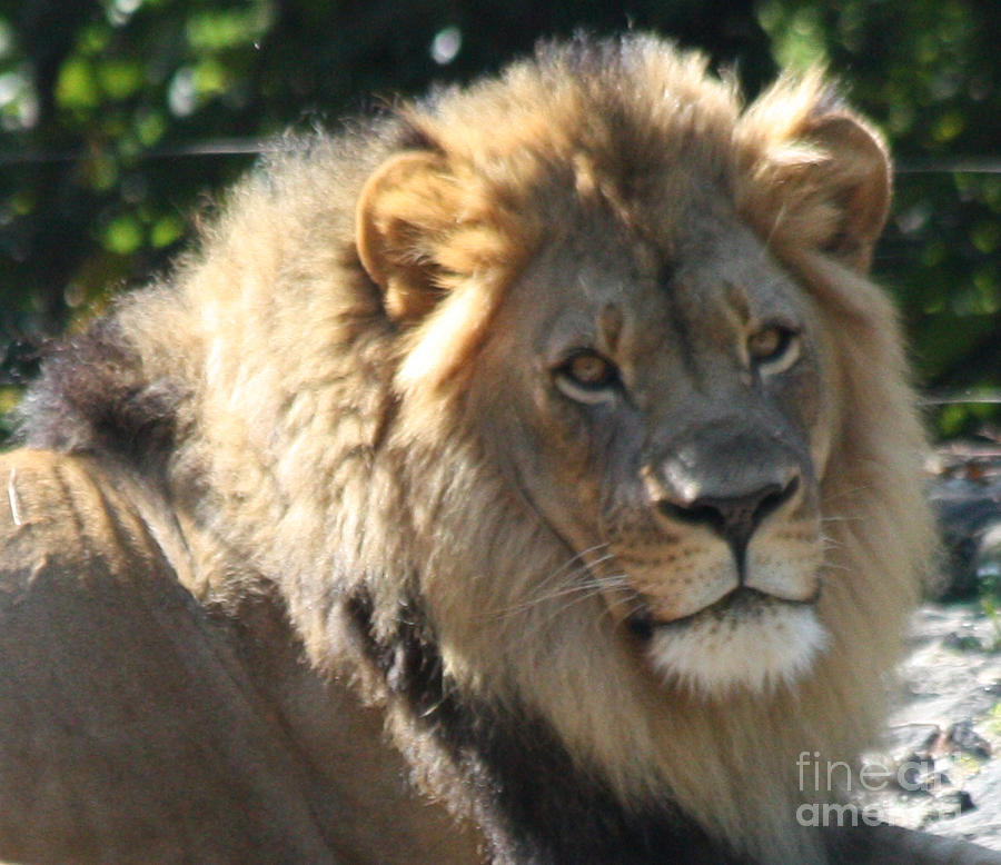 Telfer Photograph - The King Of The Jungle by John Telfer