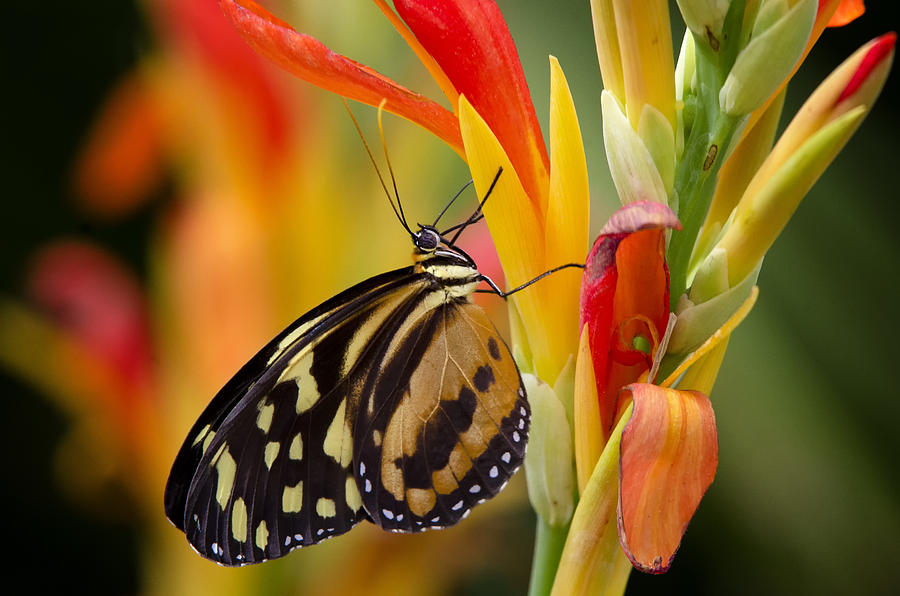 Butterflies Photograph - The Postman Butterfly by Saija  Lehtonen