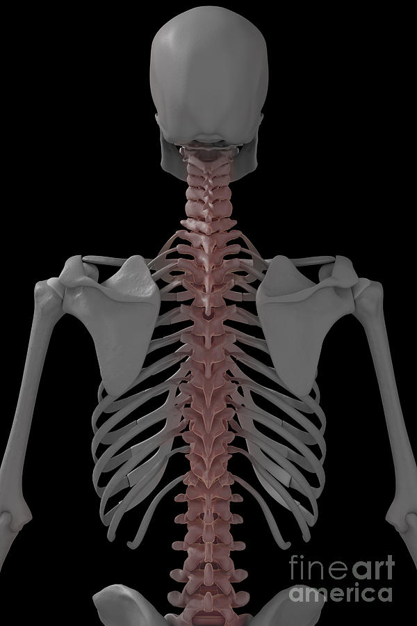 Bone Photograph - The Spine by Science Picture Co