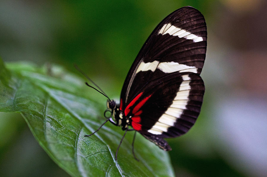 Tiger Longwing Butterfly Photograph - Tiger Longwing by Cheryl Cencich