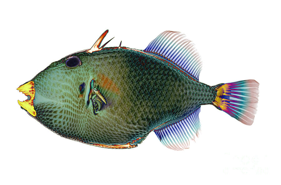 Anatomy Photograph - Triggerfish X-ray by D Roberts
