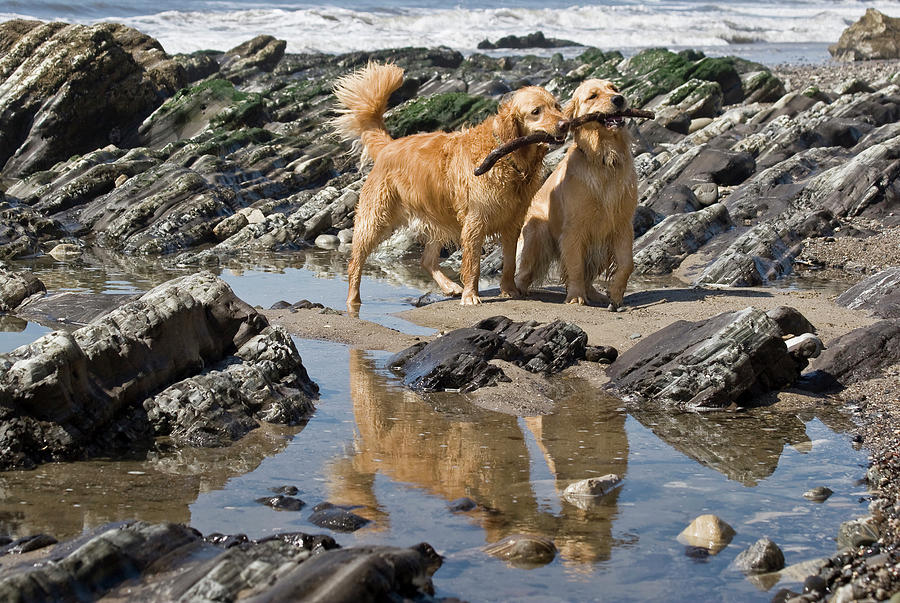 Action Photograph - Two Golden Retrievers Playing by Zandria Muench Beraldo