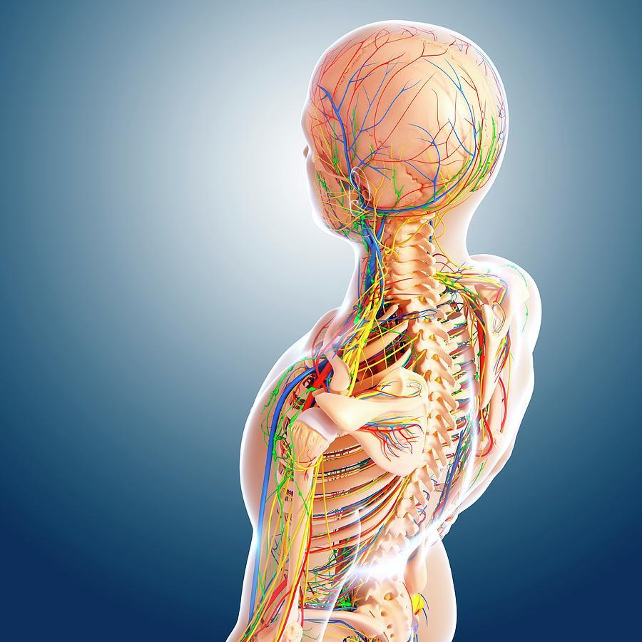 Upper Body Anatomy Photograph By Pixologicstudioscience Photo Library