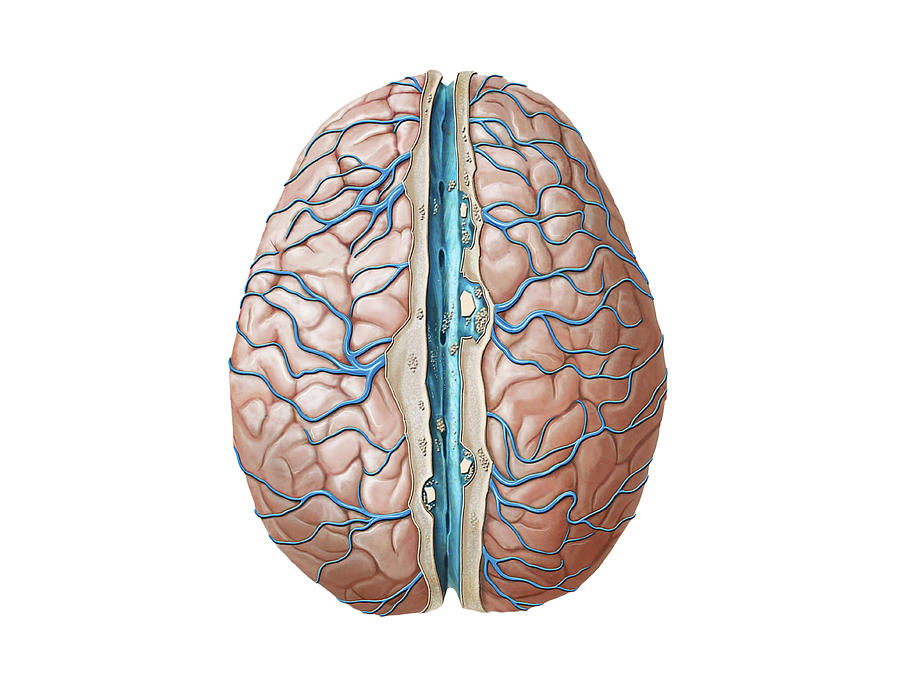 Venous System Of The Brain Photograph By Asklepios Medical Atlas