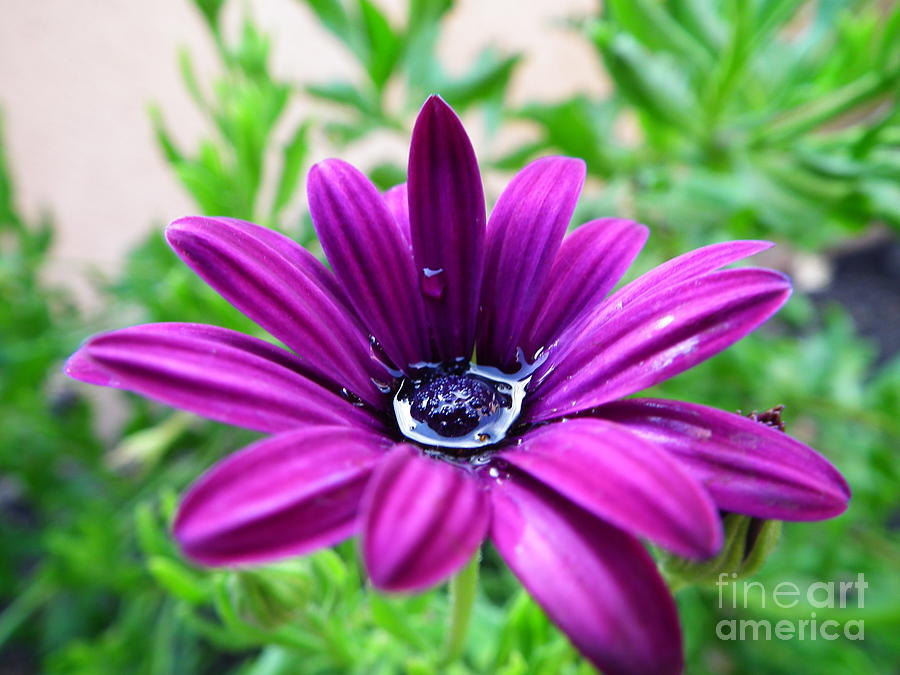 Spring Photograph - Violet Daisy by Stefano Piccini
