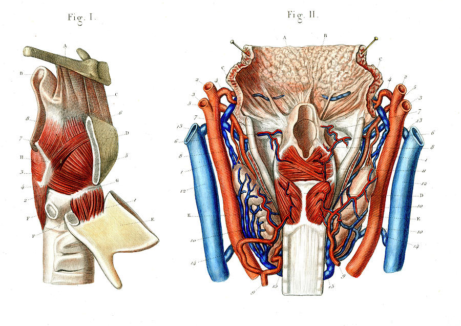 Voice Box Anatomy Photograph by Collection Abecasis